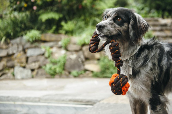 Border Collie outside, next to river bank, and holding P.L.A.Y. Scout & About - Rope Toy - Tug Ball