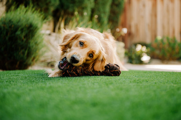 Golden Retriever in garden and chewing P.L.A.Y. Scout & About Barbell Rope Toy