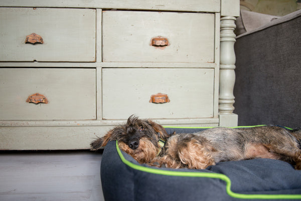 Small size Mixed Breed Dog is sleeping in P.L.A.Y. Urban Plush Slate Gray, Lime lounge small dogs and cat bed, SKU: PY3010ASF. Bed is next to rustic cabinet and grey bed.