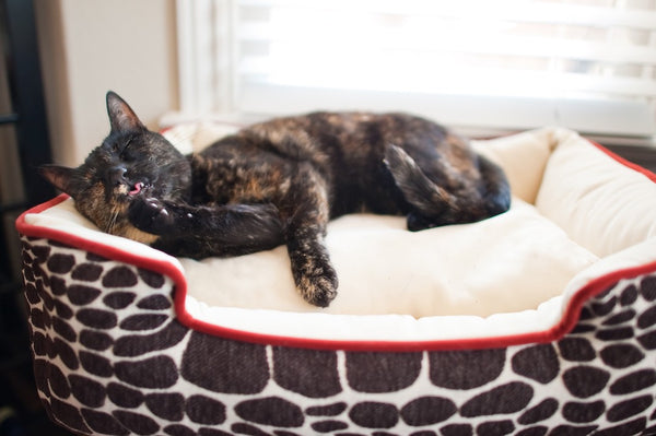 Tortoiseshell cat is grooming in P.L.A.Y. Kalahari Brown Girafe, Sangria lounge bed next to window. SKU: PY3004ASF