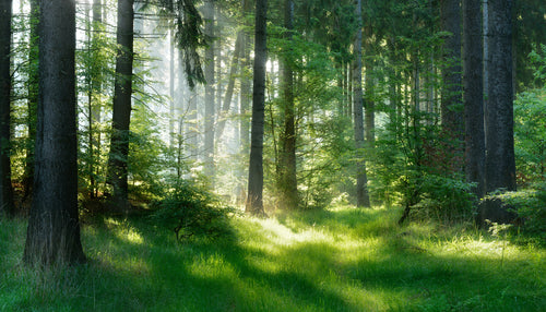 Natural Forest of Spruce Trees