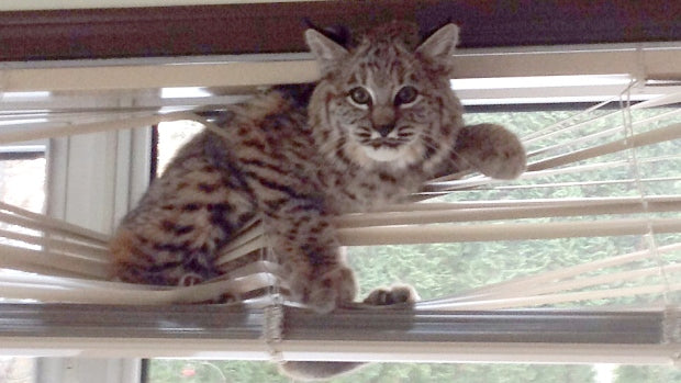 bobcat-in-nelson-b-c-home-stuck-in-the-blinds-photo-lightened
