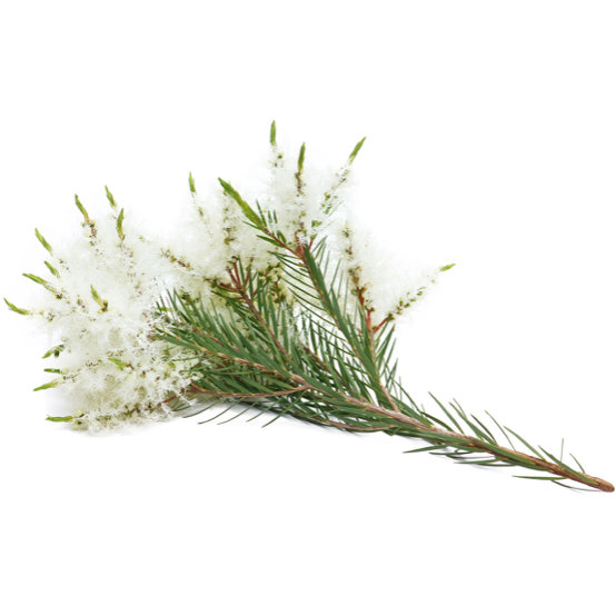 Tea Tree (Melaleuca)