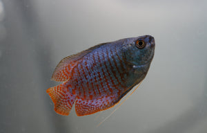 Royal Blue Gourami