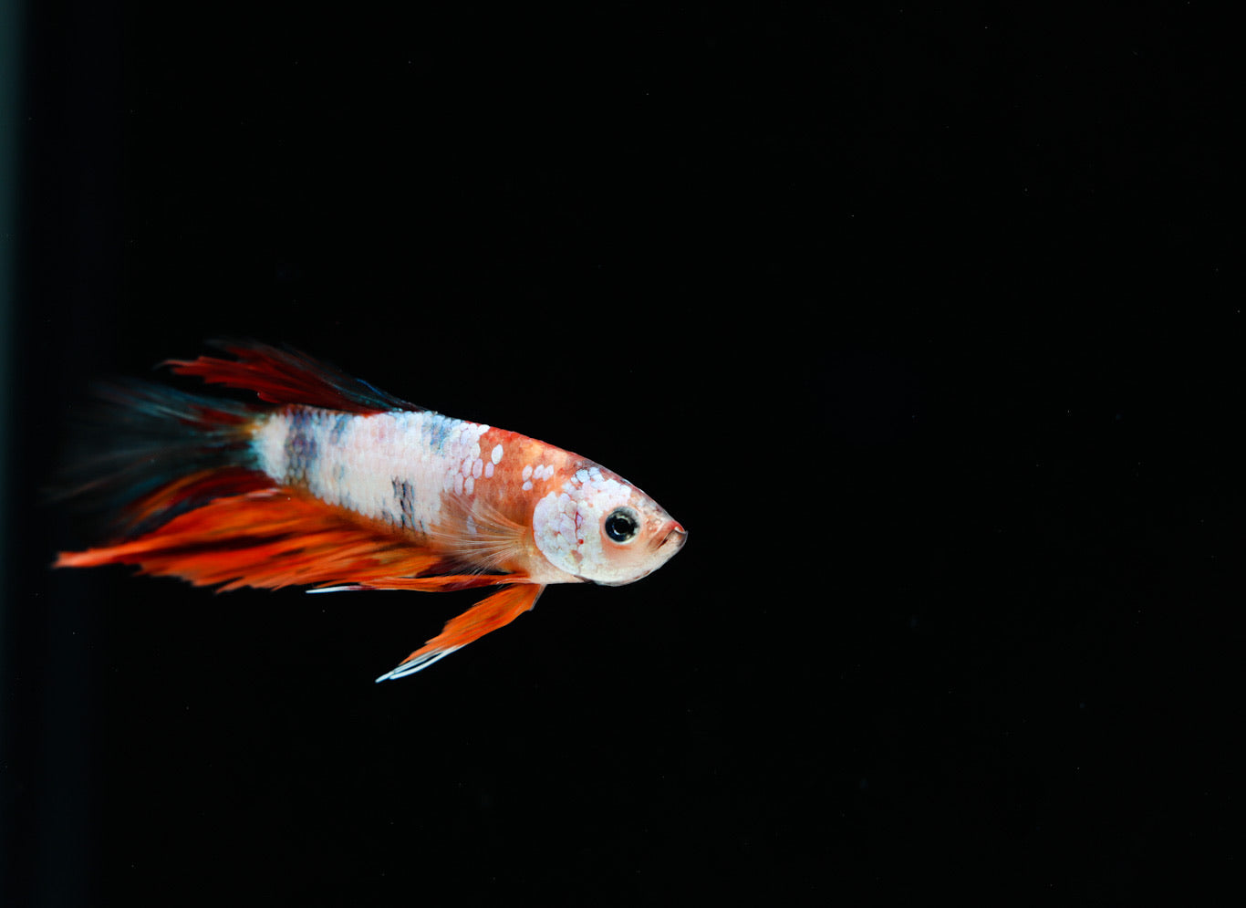 Half Moon Candy Male Betta