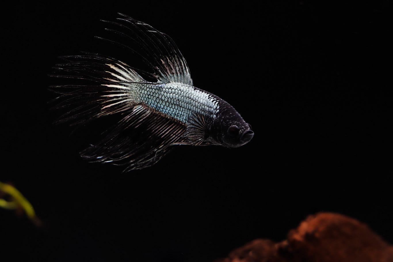 Black Orchid Crowntail Male Betta