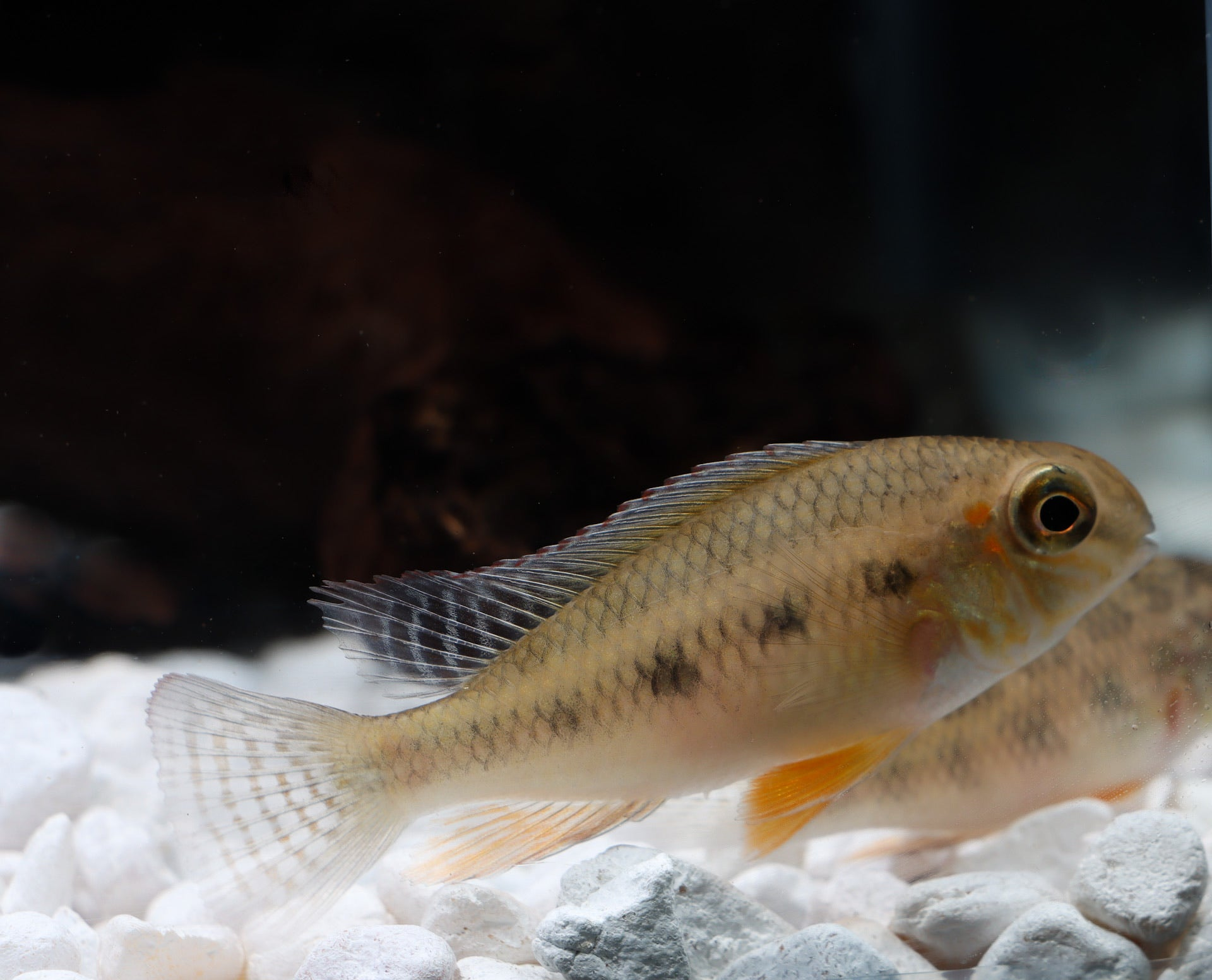 Checkerboard Cichlid - Peru
