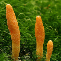 All About Cordyceps