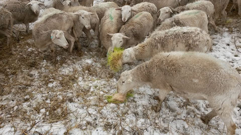 Wintertime Fodder Production and Feeding – Simply Country