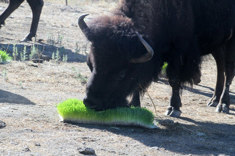 Feeding sprouts to buffalo