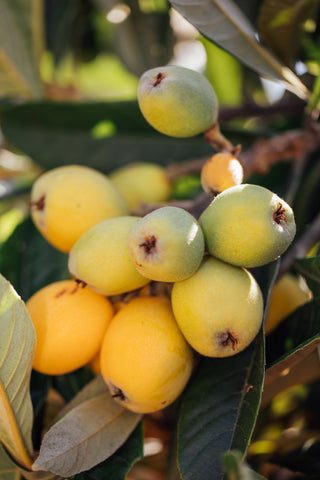 Closeup of a bunch of loquats surrounded by leaves on a tree in Daniel's garden.