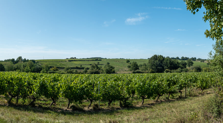 Layon hillside: the start of the Moelleux of Val de Loire