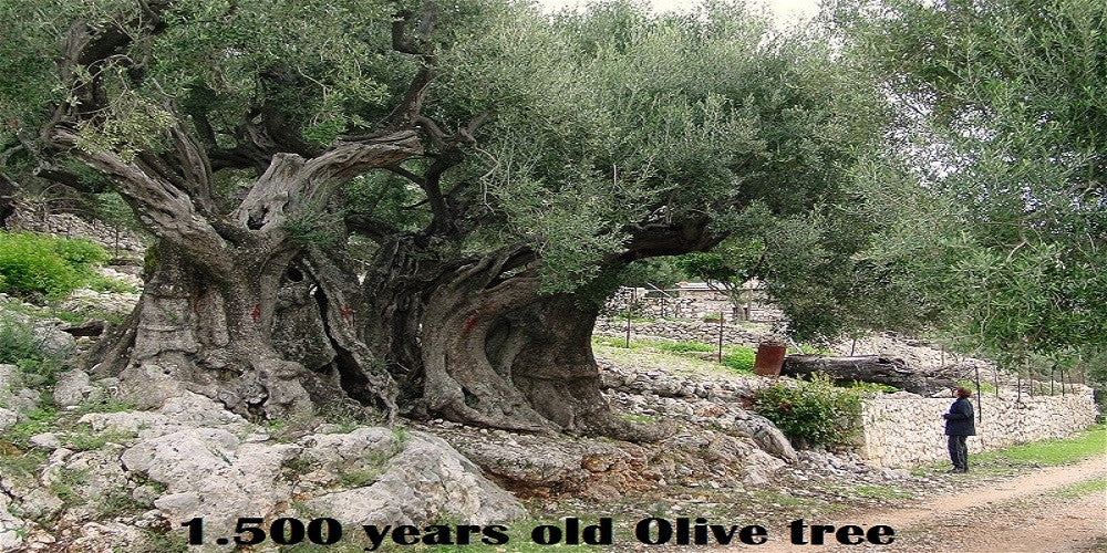 1500 year old Olive tree