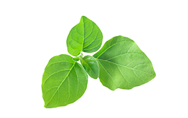 A bunch of ashwagandha leaves for managing stress