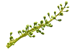 A stalk of boswellia for reducing soreness