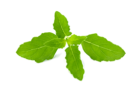 Bright green holy basil leaves for reducing stress and anxiety