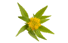 A rhodiola rosea root for combating anxiety