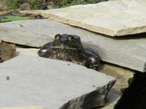 Got Frogs? Toads?