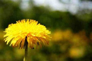 Dandelions- More than just Weeds