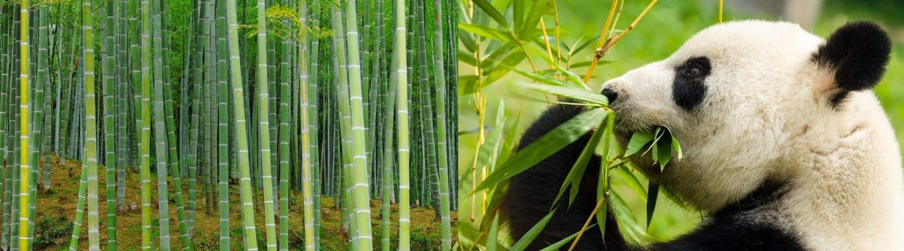 Moso bamboo is not the variety pandas eat, hence best for bulk toothbrushes