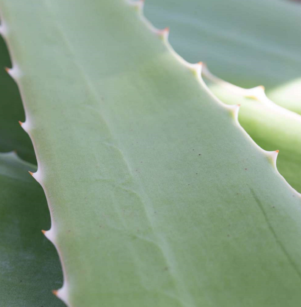 Why everyone needs Aloe Vera at home