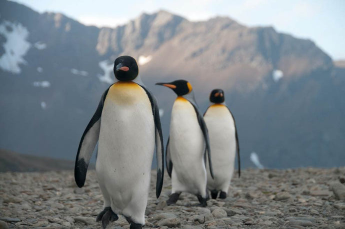 Penguins affected by climate change