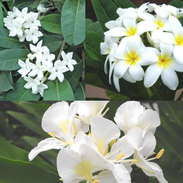 Fragrant Collection of Hawaii flowers-stephanotis white ginger and white plumeria