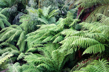 Load image into Gallery viewer, Tree Fern Hawaiian Starter Plant