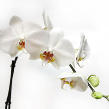 Load image into Gallery viewer, Phalaenopsis Orchid Hawaiian Starter Plant