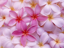 Load image into Gallery viewer, Yellow Plumeria Frangipani Cutting