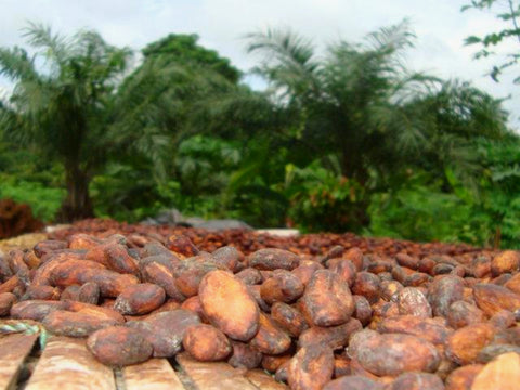 Pictured: freshly harvested cocoa beans drying in the sun in front of cocoa trees. Ghana, Africa.