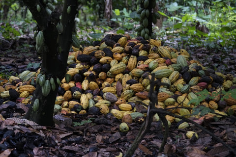 Pictured: freshly harvested cocoa pods