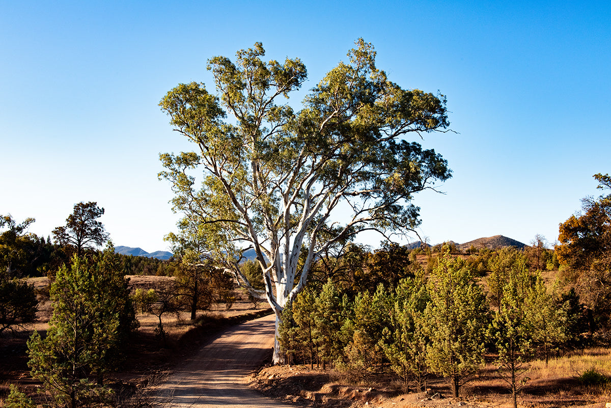 bunyeroo gorge drive and a big red gum in the flinders ranges