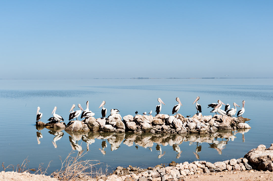 THE COORONG pelicans