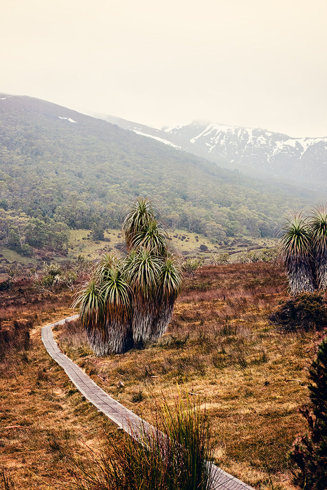 CRADLE MOUNTAIN national park in a fine art print featuring a cluster of pandani trees standing next to a walking trail leading to the snow capped mountains beyond