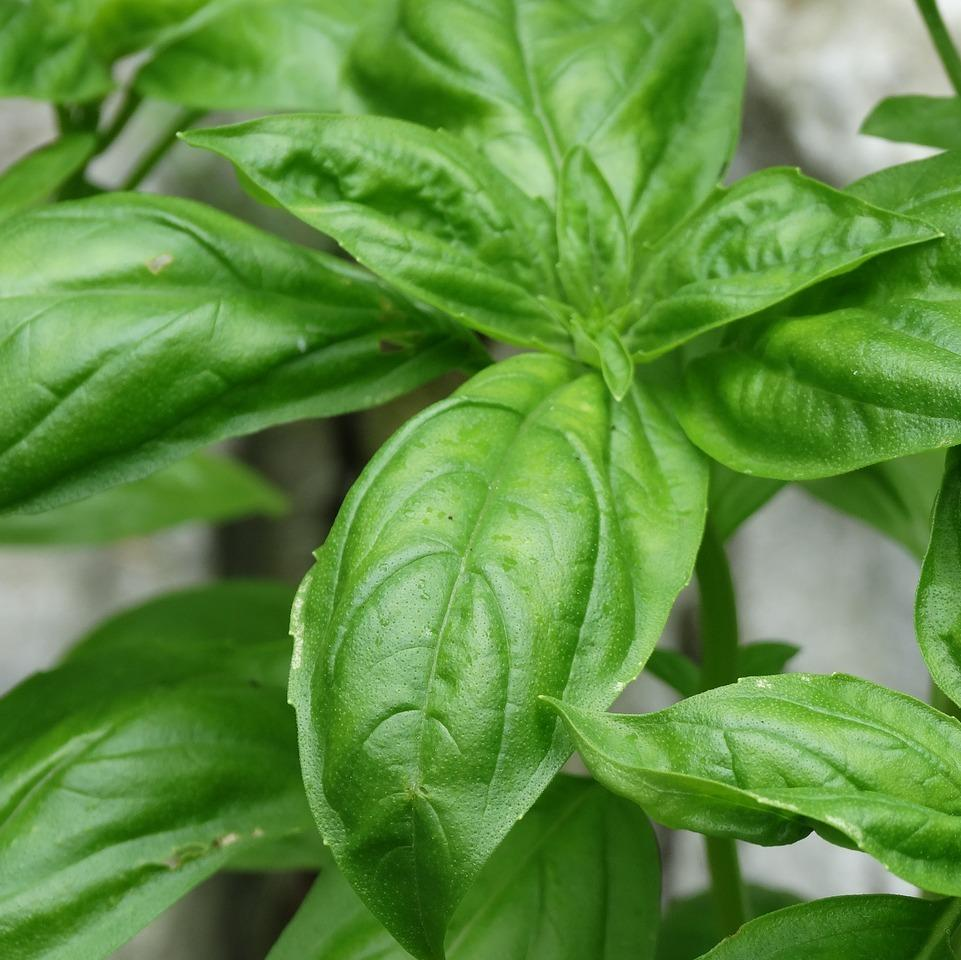 basil herbs organic fruits and vegetables brisbane