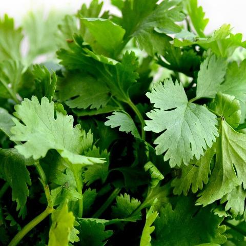 Spray free coriander, great for Asian dishes, collects yours this weekend in Brisbane or Ormeau
