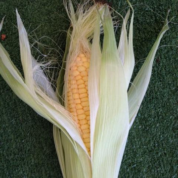 Organic sweet corn picked fresh from the farm near Brisbane