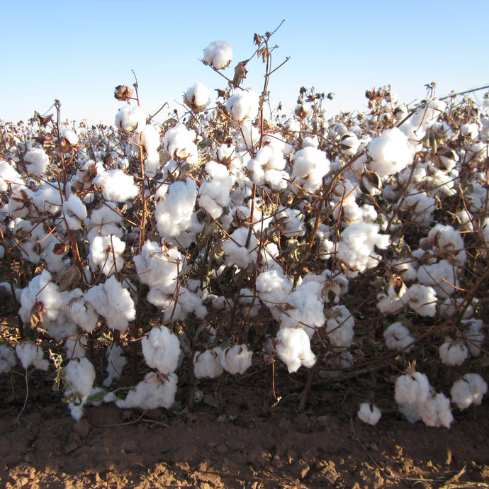 This Juneteenth, What Does It Mean That The Cotton We Use Comes From Texas?