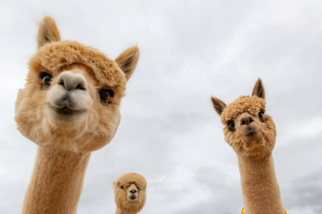 three alpacas for sskein blog
