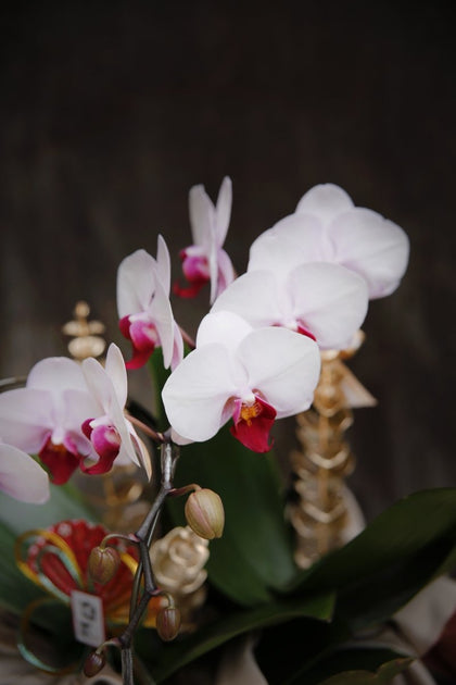 Blessing Orchid - #hapi Fish-flower