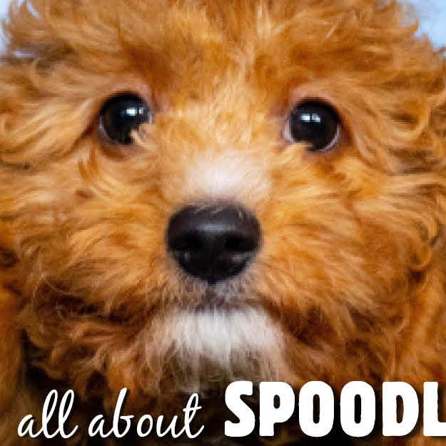 Spoodle Breed Information