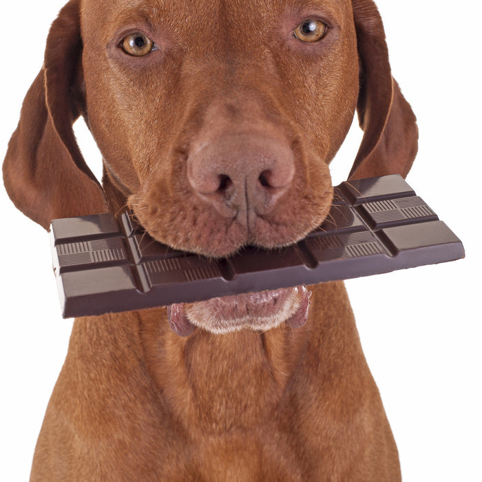 Why you shouldn't feed your dogs chocolate