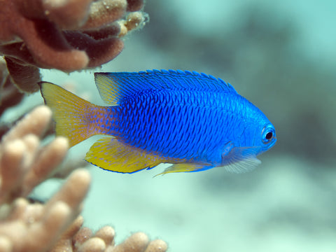 The damselfish is a great choice for a first time marine aquarium with a Aquareef 400