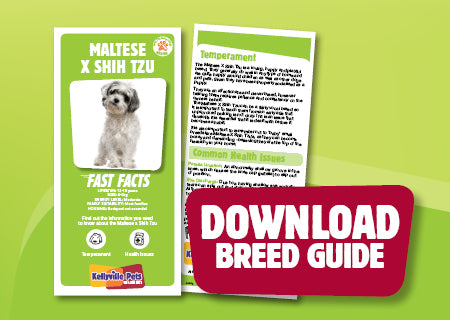 Download Maltese X Shih Tzy breed guide
