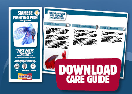 Download Siamese Fighting Fish care guide