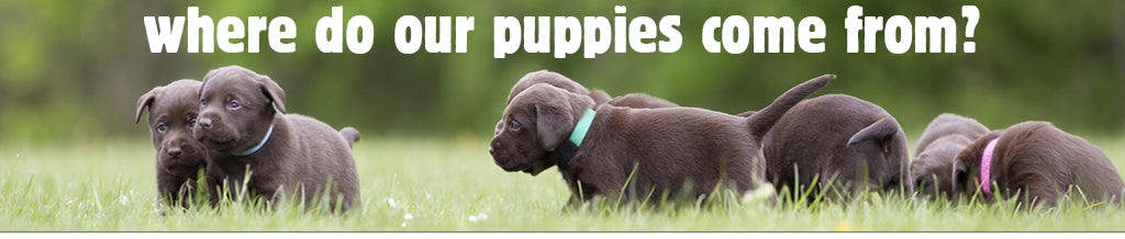 Where do our puppies come from?