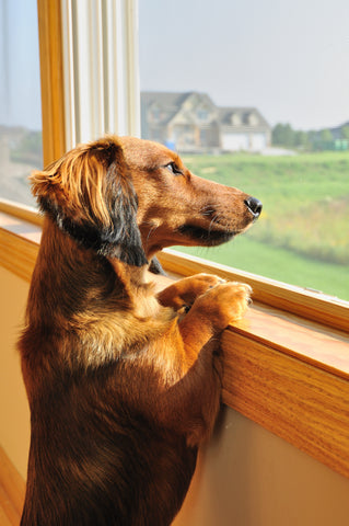 Mini Dachshund looking out the window