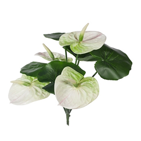 Anthurium Bush White Green