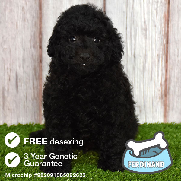 Meet Ferdinand the Toy Poodle